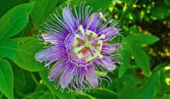 fiore di passiflora