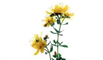 fiori di iperico