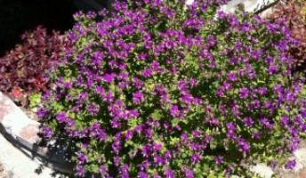 poligala fiorita