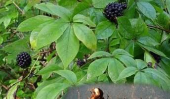 foglie e radice di eleuterococco