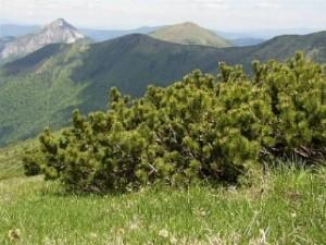 Il pino mugo