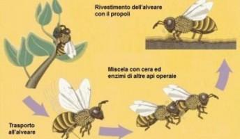 api che fanno la propoli