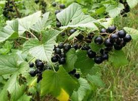 Ribes nigrum e gemmoterapia