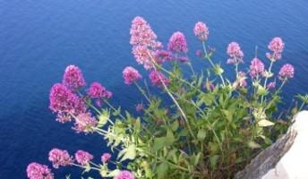 valeriana in fiore