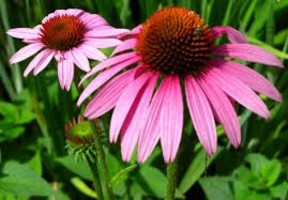 fiori di echinacea