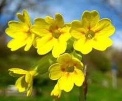 fiori di primula