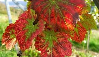 foglie di vite rossa