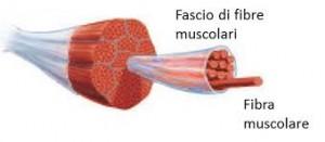 A cosa servono i muscoli?