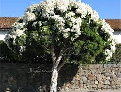 meleleuca alternifolia